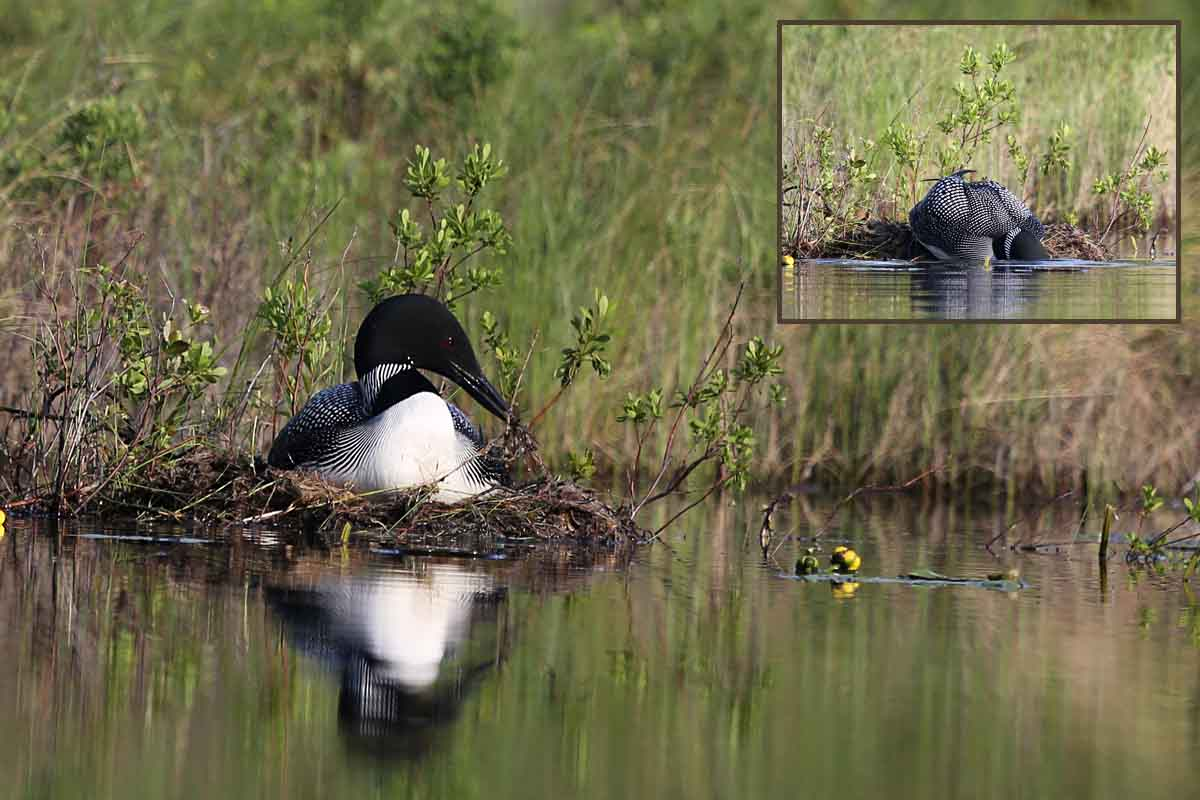 6-30-14  Loons #1 - nest building 496