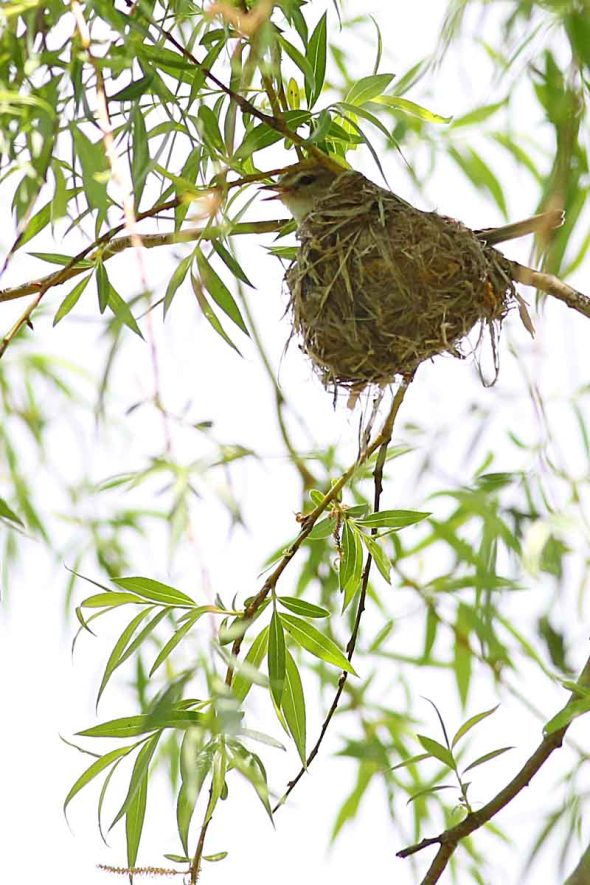 6-4-14 warbling vireo on nest 226