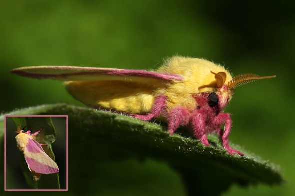 6-9-14 rosy maple moth 161