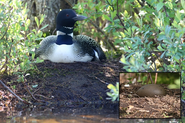 7-1-14  Loons #2 - incubating 404