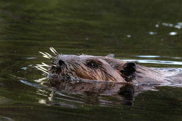 beaver with quills2  376