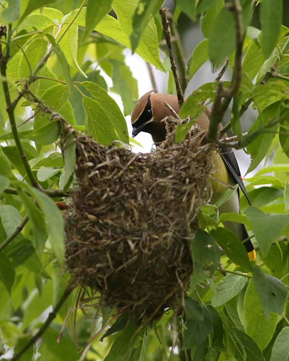 cedar waxwing at oriole nest 241