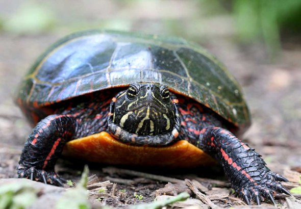 painted turtle 035