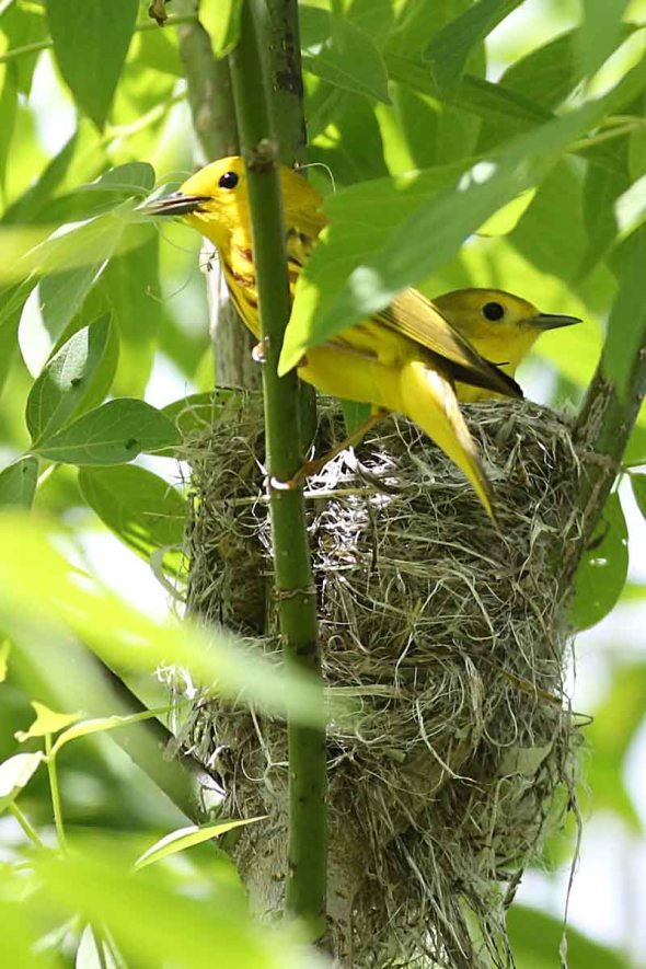 yellow warbler nesting pair 078