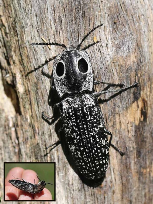 7-10-14 eyed click beetle 789