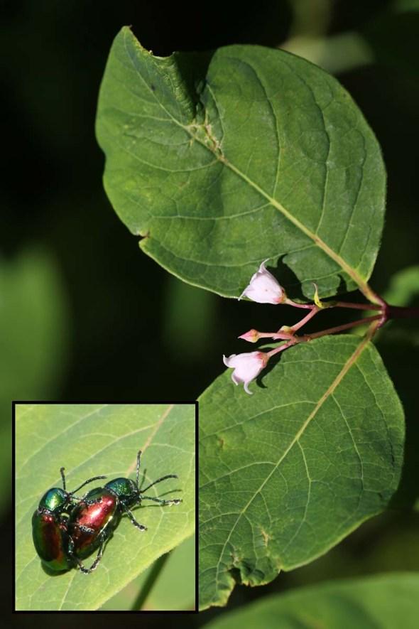7-17-14 dogbane & dogbane beetle190
