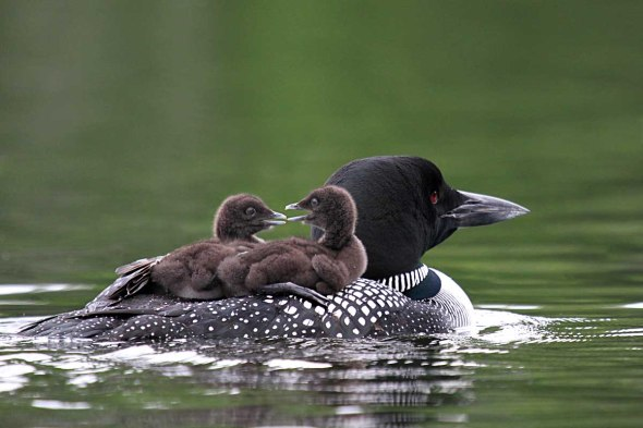 7-2-14 common loon with chicks-broodingIMG_3215