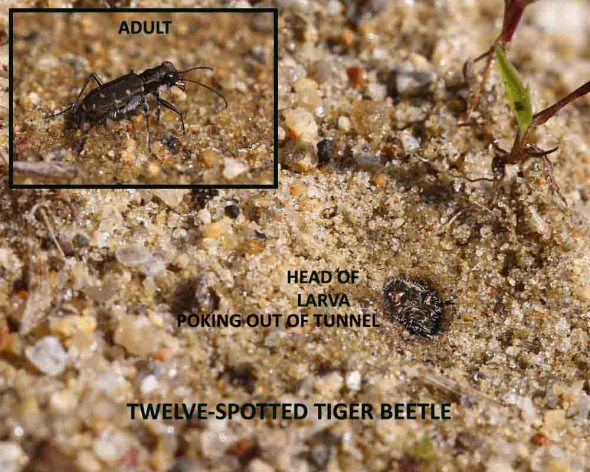 7-24-14 tiger beetle adult and larva 040