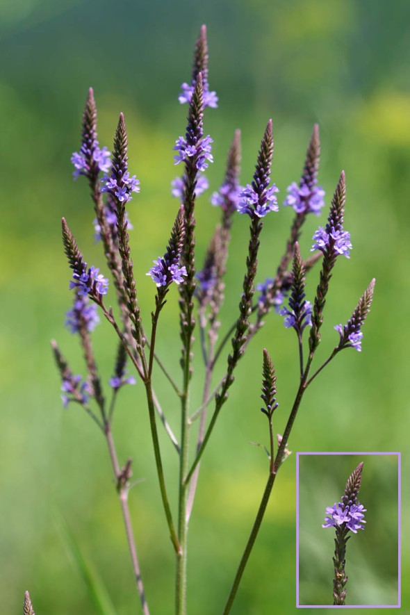 7-29-14  blue vervain IMG_5431