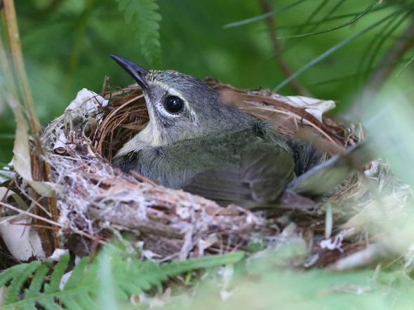 8-1-14 -female black-throated blue warbler on nest 054