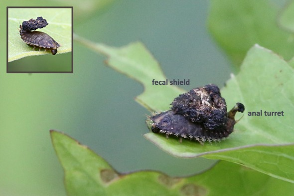 8-1-14  tortoise beetle larva with fecal shield 049