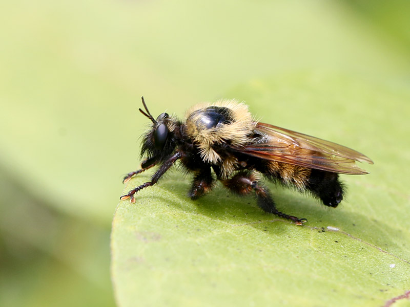 Robber Fly Mimics Bumblebee | Naturally Curious with Mary ...