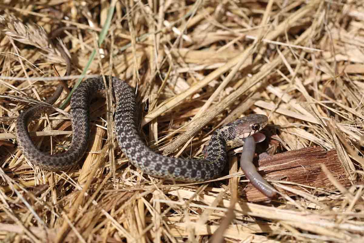 8-15-14  common gartersnake 082