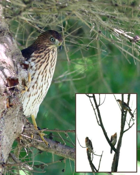 8-19-14 juvenile cooper's hawk2 306