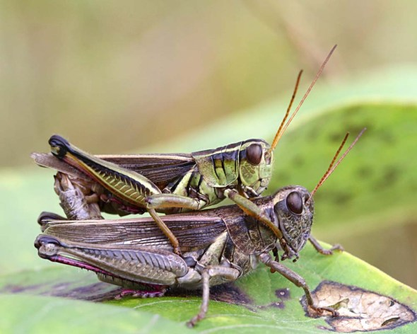8-20-14 mating grasshoppers 040