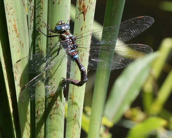 8-27-14  black-tipped darner 133