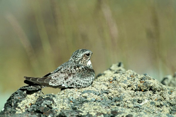 8-28-14 common nighthawk_w725_h486