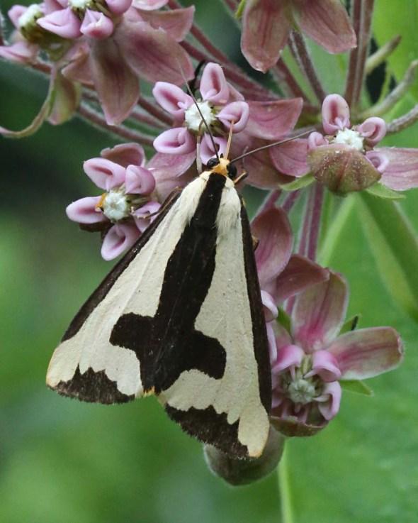8-4-14 Clymene moth 140