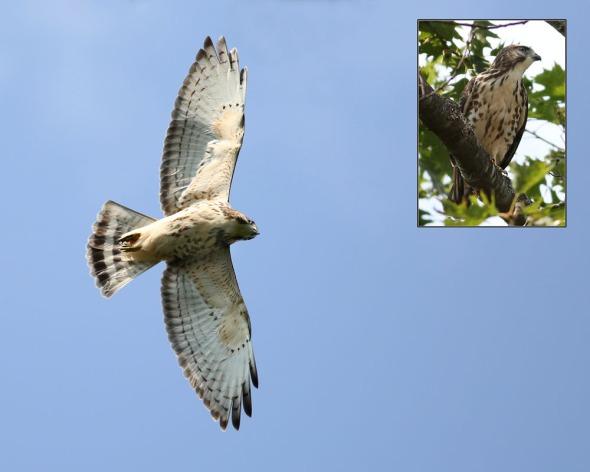 8-7-14 broad-winged fledgling2 037
