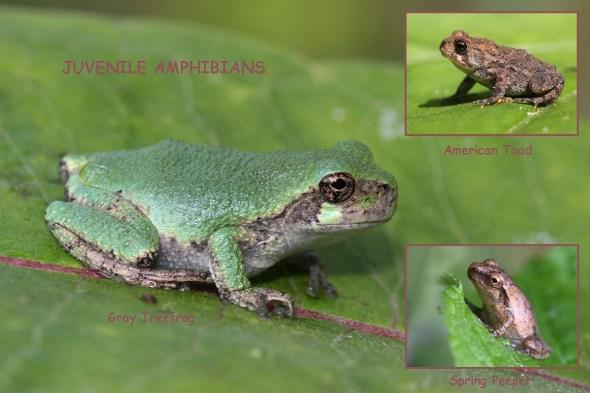 9-1-14  juvenile amphibians IMG_5078
