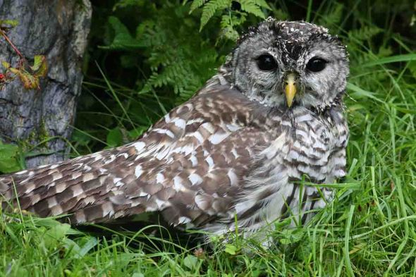 barred owl-fractured wing 062