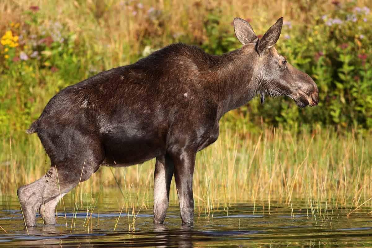 9-11-14 cow moose urinating 436