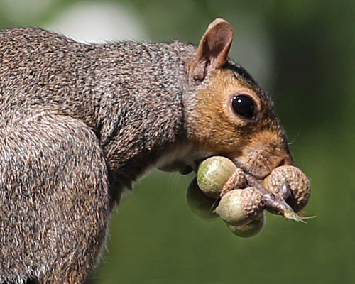gray squirrels caching nuts naturally curious with mary