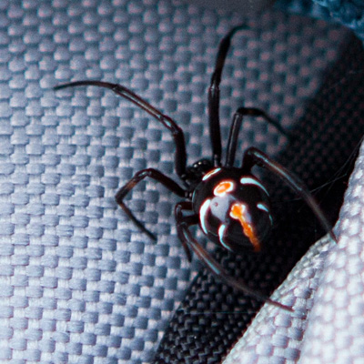9-29-14 northern black widow spider