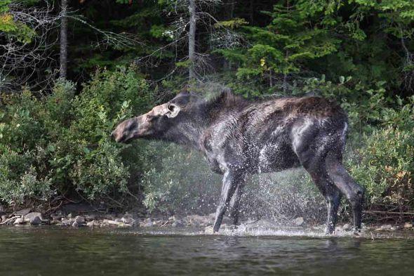 moose shaking 472