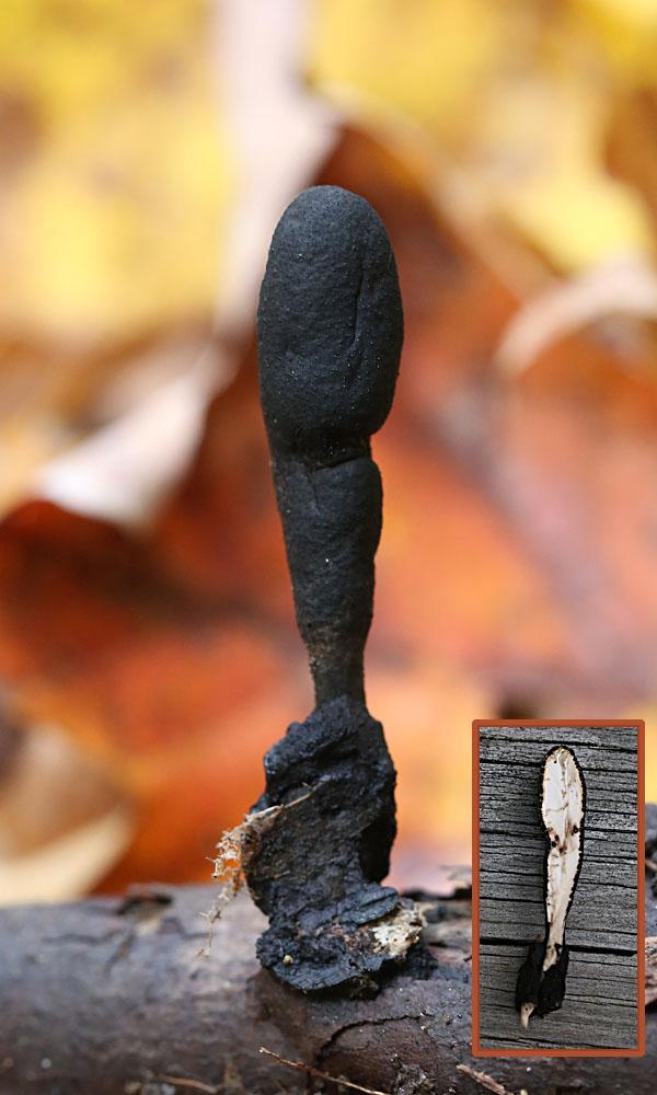 10-10-14 dead man's fingers 082