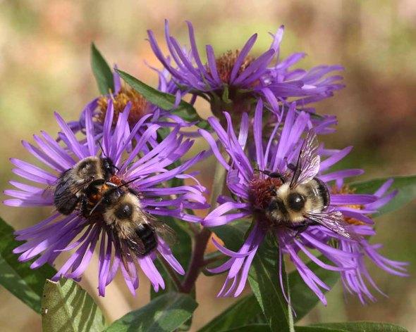 10-13-14 new england aster & bumblebee 356