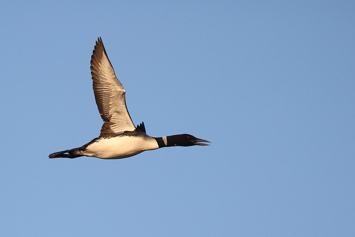 10-27-14 common loons migrating2  146