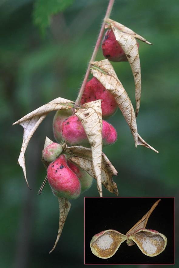 10-29-14 sumac leaf galls IMG_7549