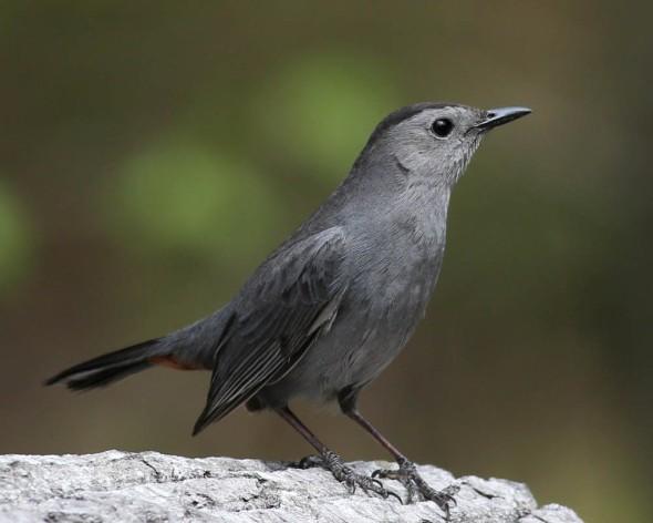 10-30-14 gray catbird 109