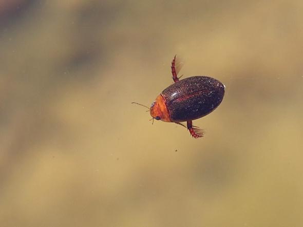 10-9-14   p. diving beetle 143