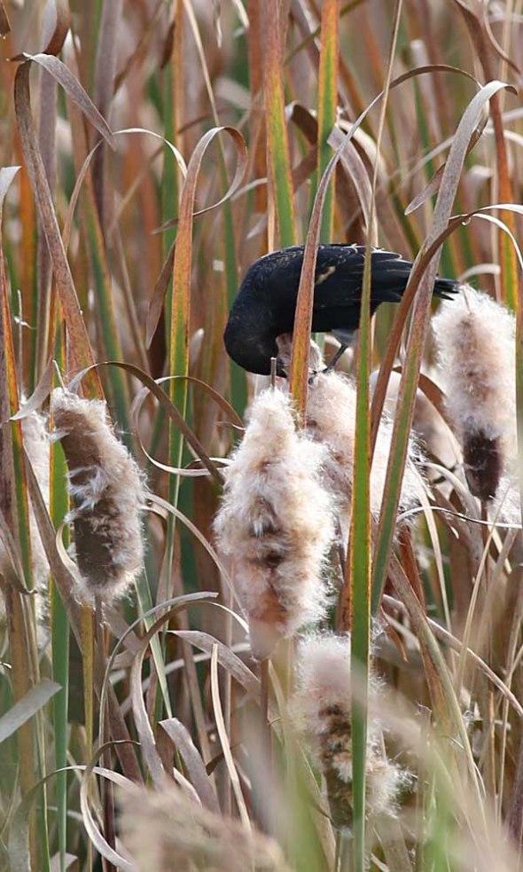 blackbird on cattail  118