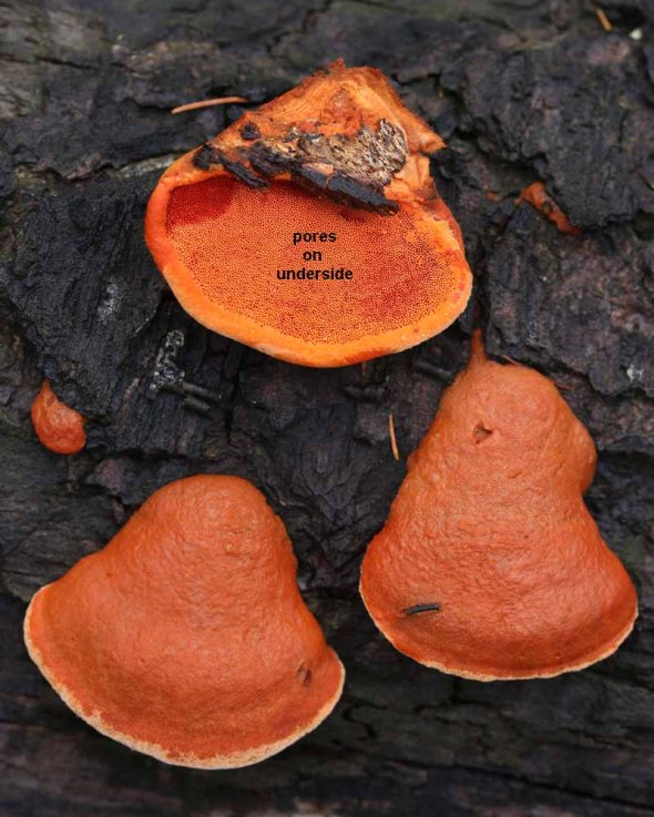 cinnabar polypore WITH LABEL 082