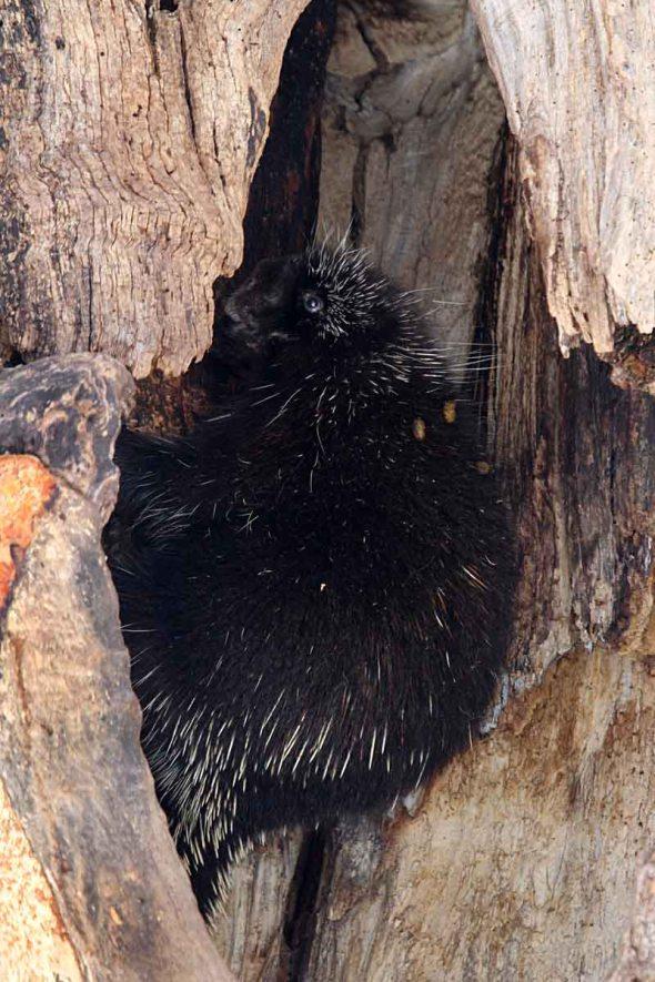 porcupine IMG_2597