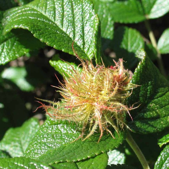 10-31-14 mossy rose gall IMG_0404