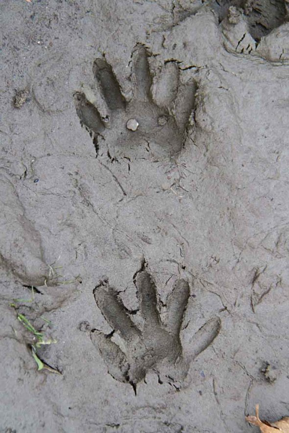 11-13-14  raccoon tracks IMG_0045