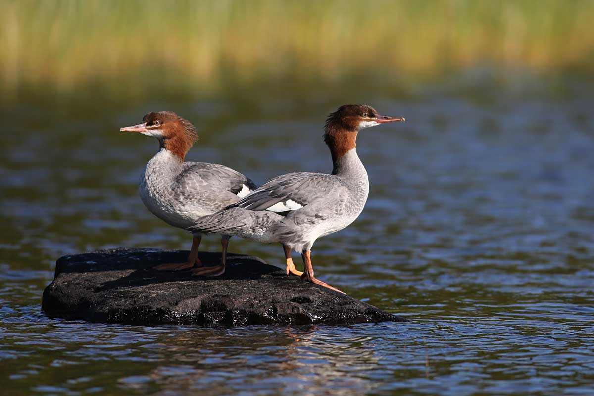 11-14-14  common mergansers 120
