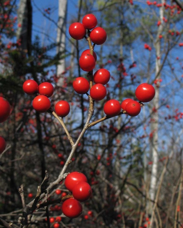 11-17-14 winterberry IMG_5797