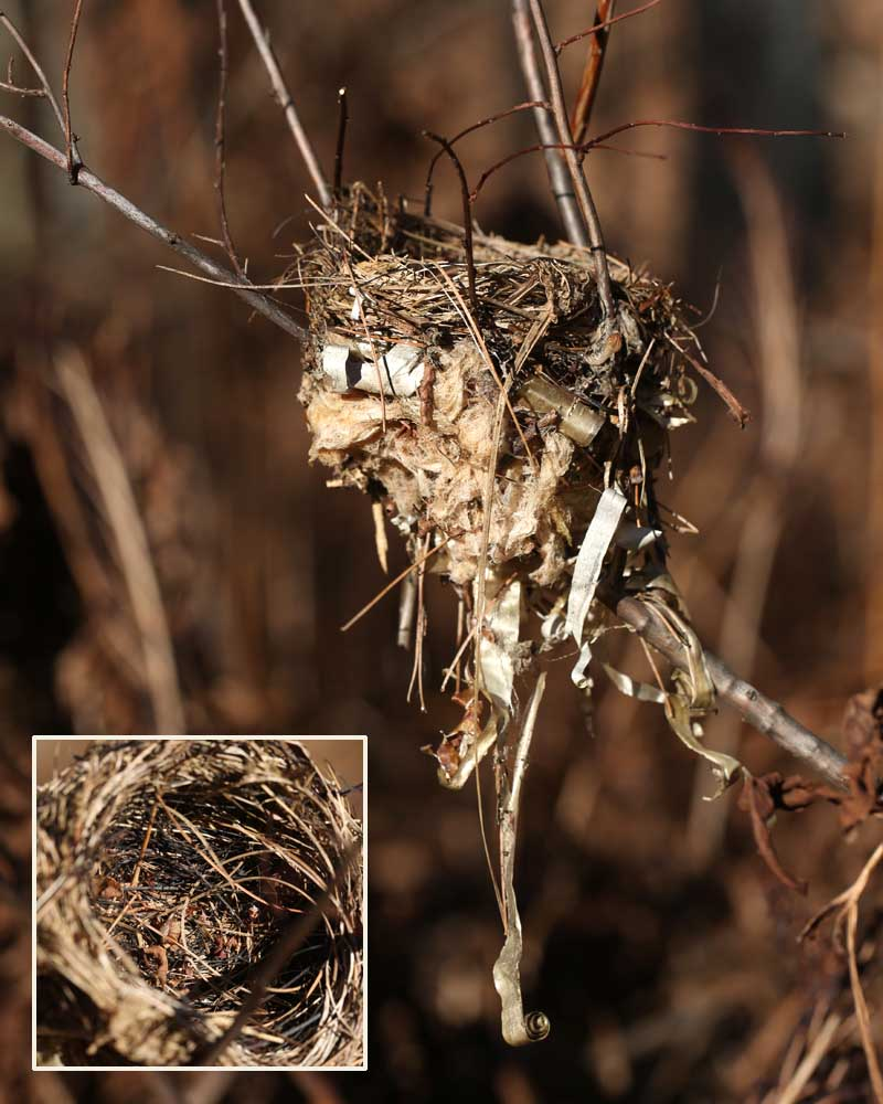 11-25-14 black-throated blue nest  043