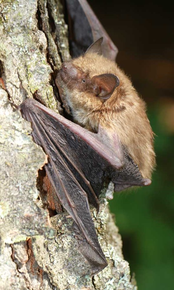 11-7-14  big brown bat IMG_7011