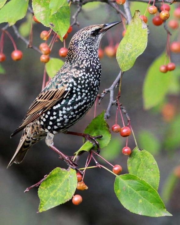 European starling IMG_8398
