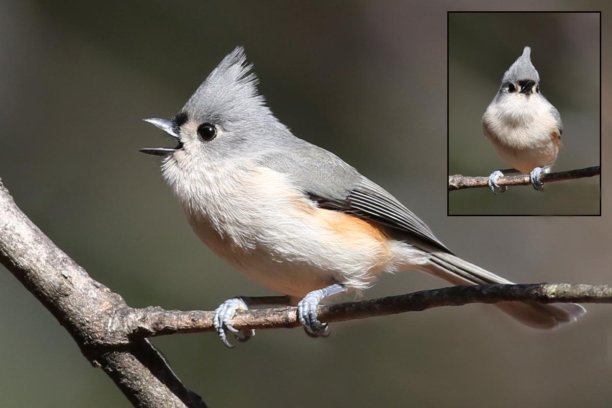 tufted titmouse2  379