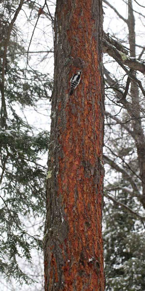 12-11-12  bark scaling 024