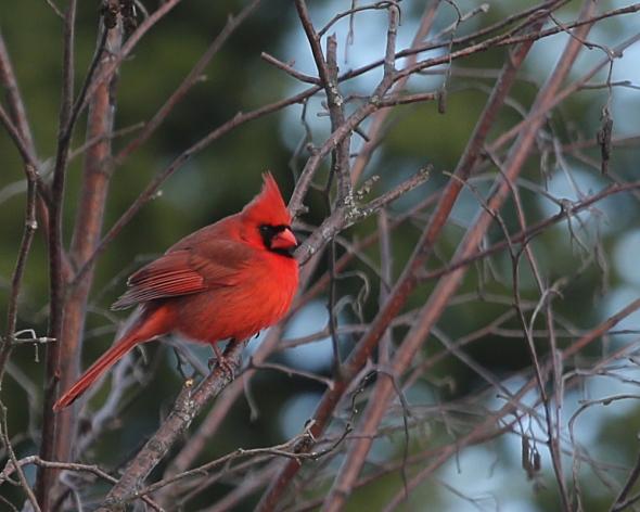 12-12-14 cardinal DA8A9669