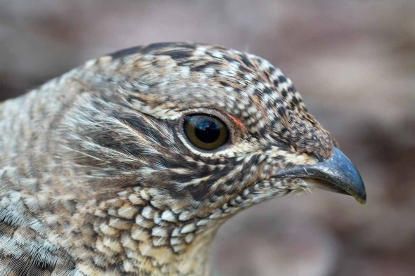 12-16-14 ruffed grouse nostrils IMG_2376