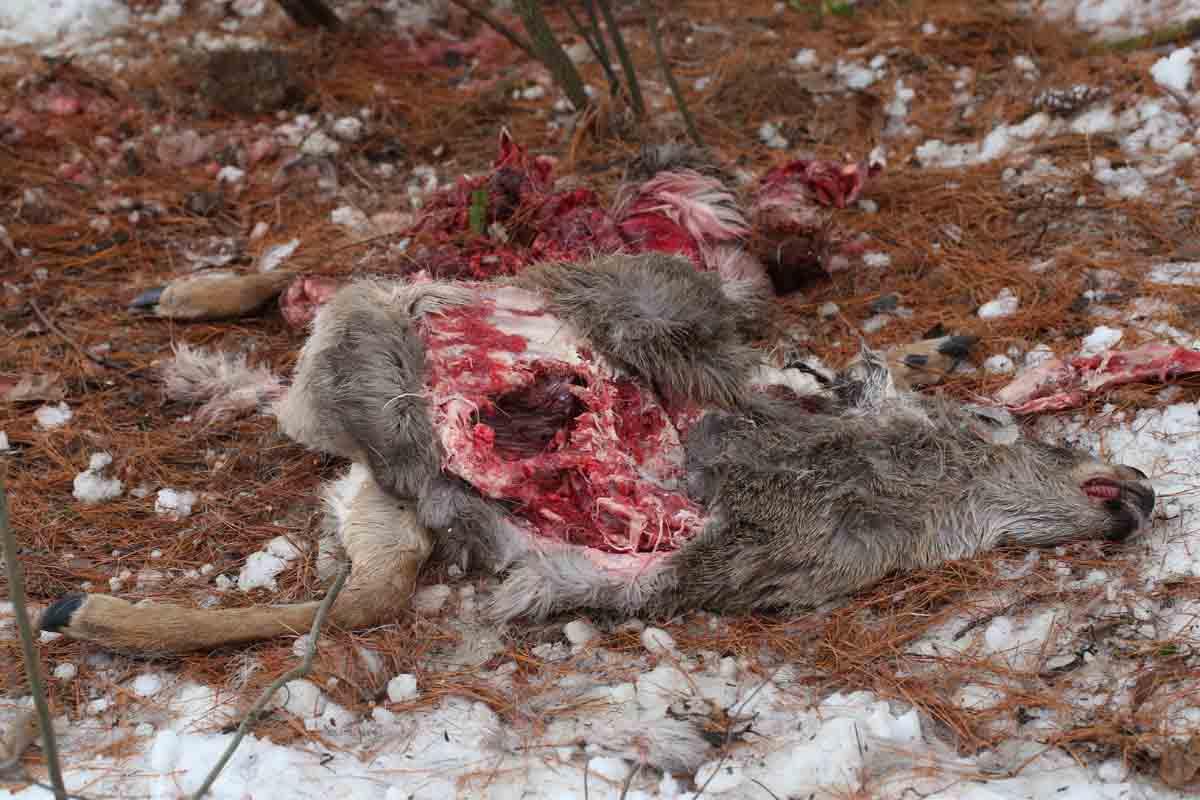 12-22-14 deer carcass 394